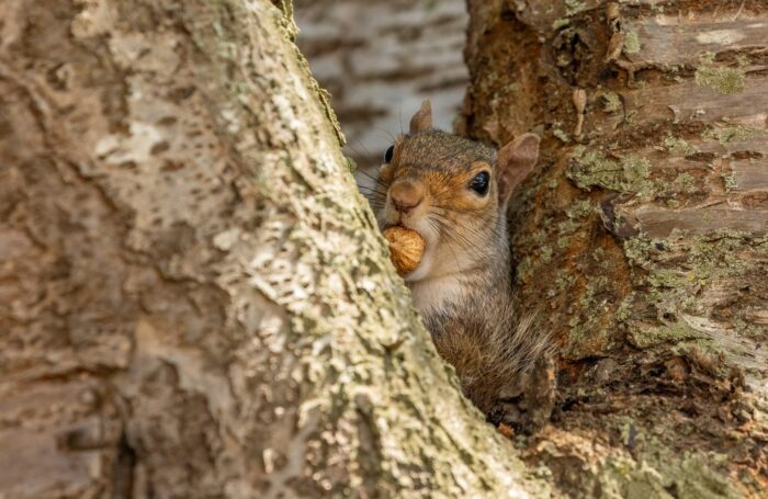 Squirrel with nut in its mouth sat in a tree