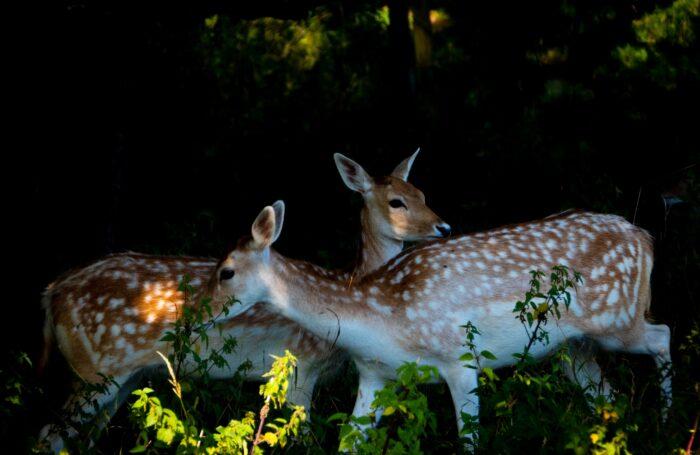 2 deers in woodland
