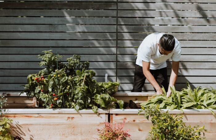 Chef picking fresh vegetables from garden
