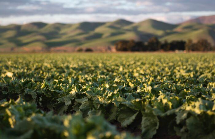 Vegetables growing in field