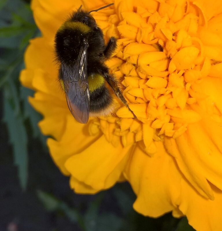 Photograph of bee extracting pollen from a yellow flower by Alan Wright